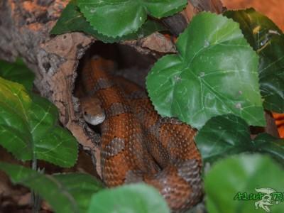 wąż zbożowy 02
